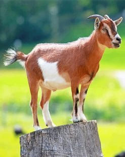 Brown Goat paint by number