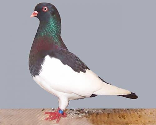 German Magpie Pigeon adult paint by numbers