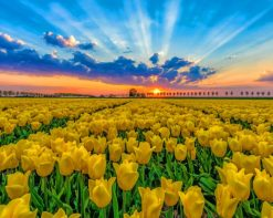 Tulips Field At Sunset paint by number