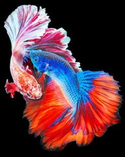 Fighting Fish Betta paint by numbers