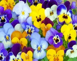 Purple And Yellow Pansy paint by numbers