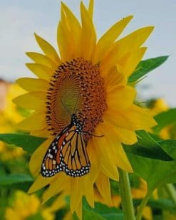 Butterfly On Sunflower Paint by numbers